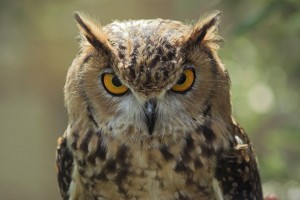 owl-1002266_960_720